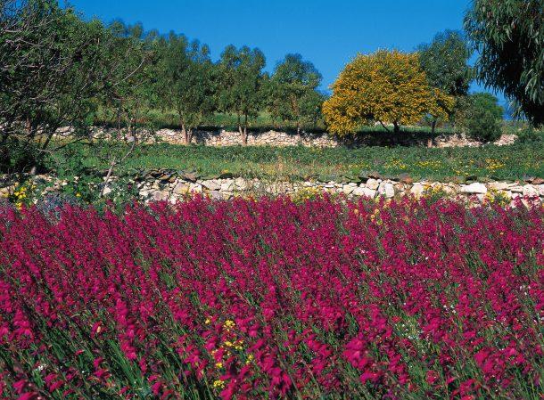 flores malta en primavera